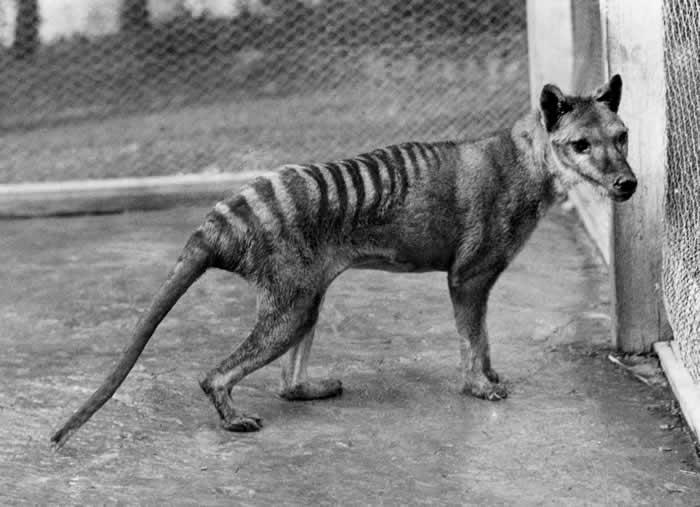 Beutelwolf 1928 im Zoo von Hobart - Fotografiert von Benjamin A. Sheppard