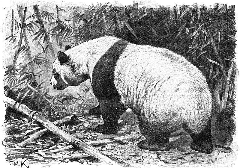 Großer Panda (Brehms Tierleben)