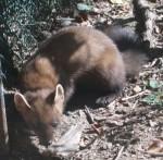 Baummarder (Tierfreigelände I des Nationalpark Bayerischer Wald)