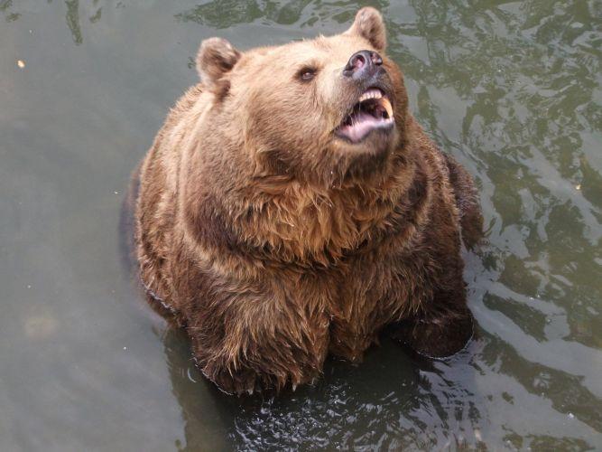 Braunbär (Tierpark Haag)