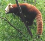 Kleiner Panda (Erlebniszoo Hannover)