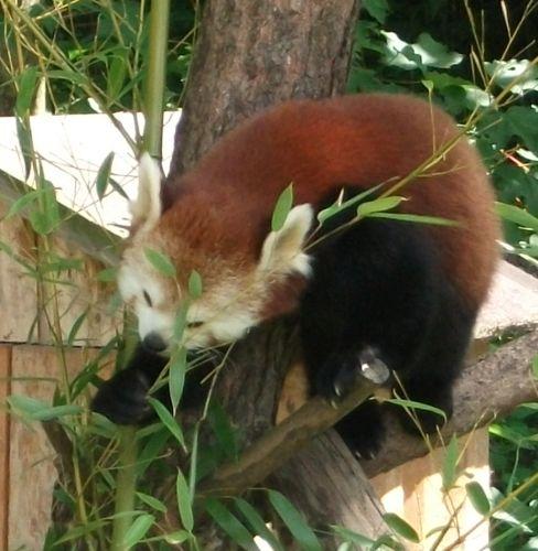 Kleiner Panda (Zoo Salzburg)