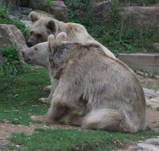 Syrischer Braunbär (Zoo Heidelberg)