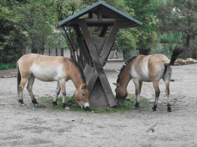 Przewalski-Pferd (Zoo Köln)