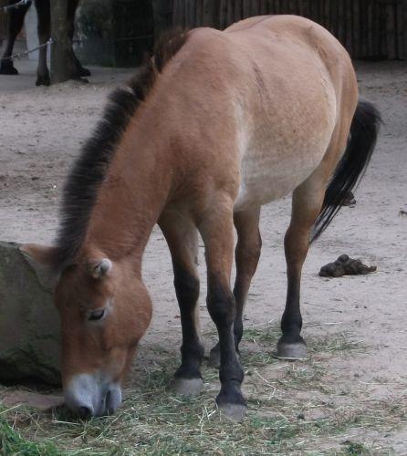 Przewalski-Pferd (Allwetterzoo Münster)