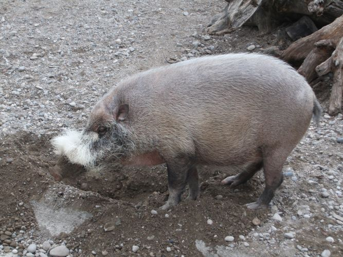 Bartschwein (Tierpark Hellabrunn)