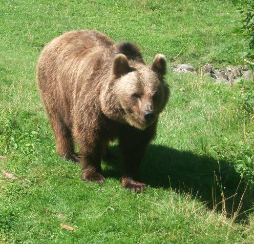 Braunbär (Tierpark Hellabrunn)
