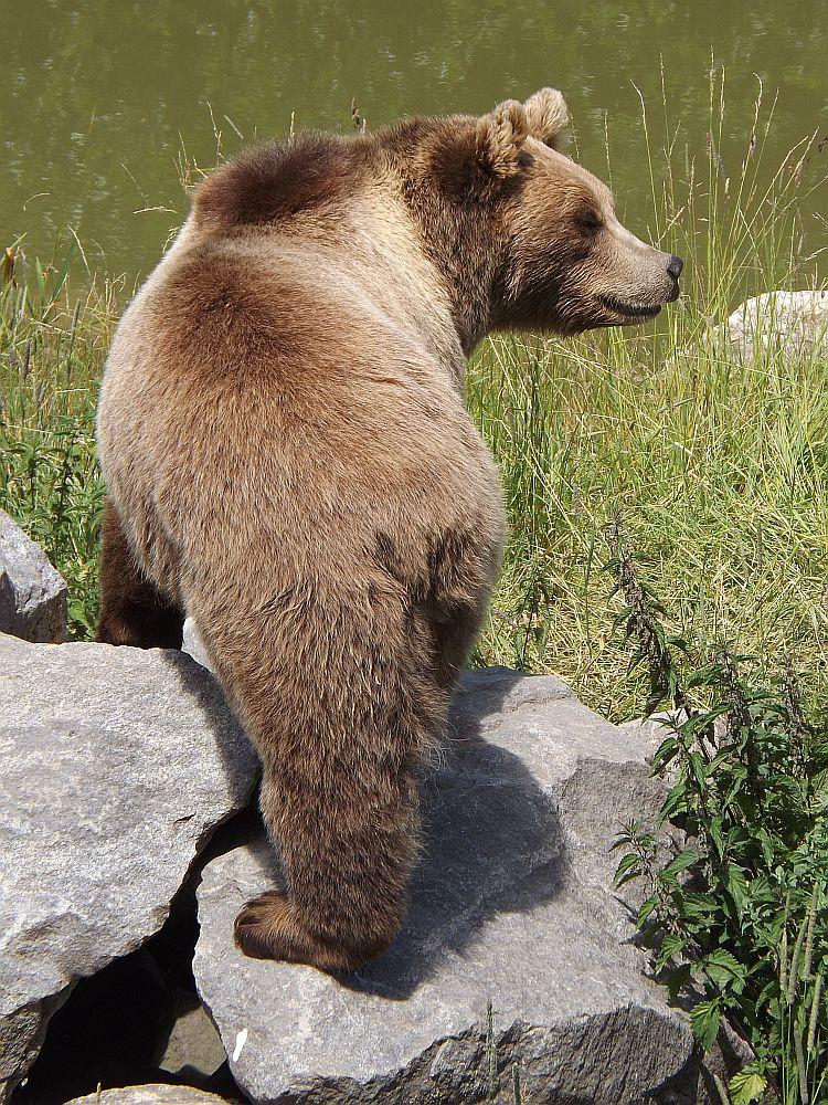 Braunbär (Wildpark Poing)