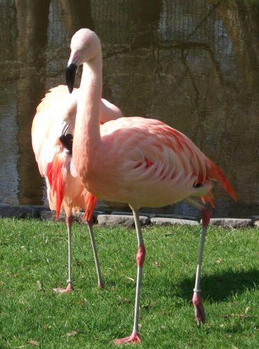 Chileflamingo (Zoo Straubing)