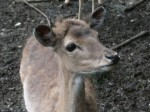 Europäischer Damhirsch (Wildpark Poing)