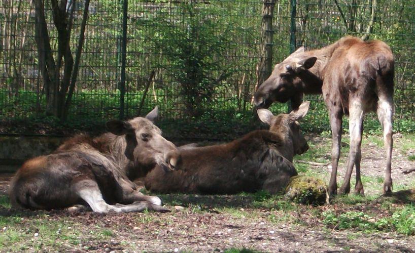 Elch (Tierpark Hellabrunn)