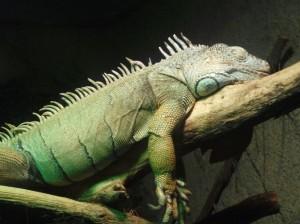 Grüner Leguan (Tiergarten Wels)