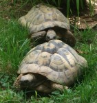 Griechische Landschildkröte (Raritätenzoo Ebbs)