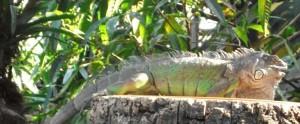 Grüner Leguan (Tierpark Hellabrunn)