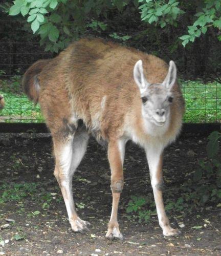 Guanako (Tierpark Haag)