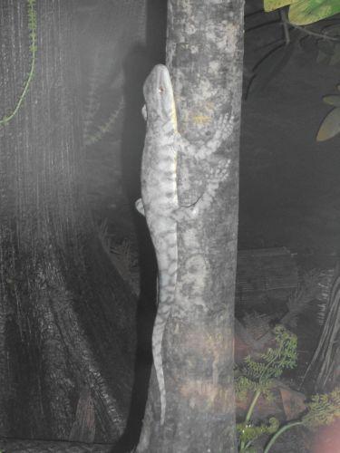 Hypostomus (Mensch und Natur)