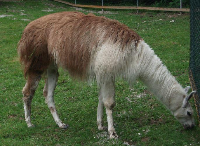 Lama (Vogelpark Irgenöd)
