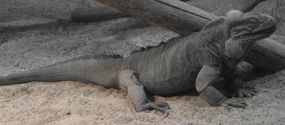 Nashornleguan (Zoo Köln)