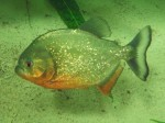 Roter Piranha (Zoo Salzburg)