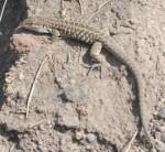 Ruineneidechse (Vesuv)