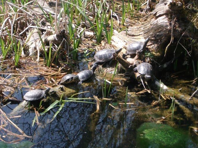 Europäische Sumpfschildkröten (Tierpark Hellabrunn)