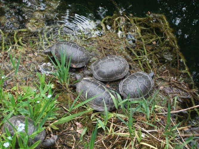 Europäische Sumpfschildkröte (Tierpark Hellabrunn)