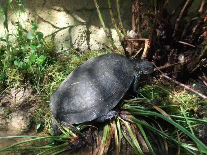 Europäische Sumpfschildkröte (Tiergarten Straubing)