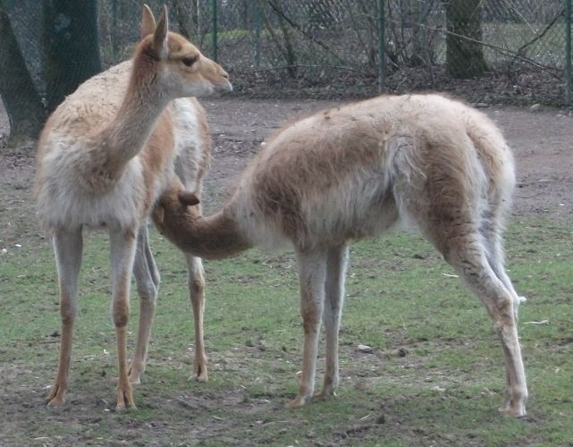 Vikunja (Tierpark Hellabrunn)