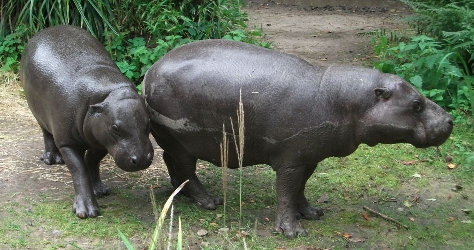 Zwergflusspferd (Zoo Duisburg)