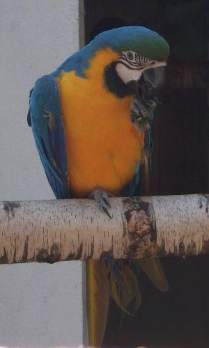 Gelbbrustara (Vogelpark Irgenöd)