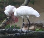 Rosalöffler und Löffler (Zoo Augsburg)
