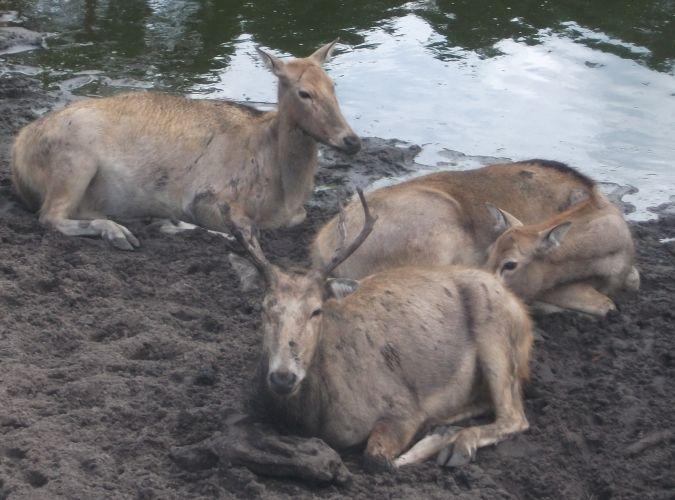 Pater-David-Hirsch (Serengetipark Hodenhagen)