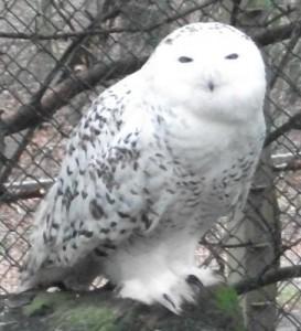 Schnee-Eule, Weibchen (Tiergarten Nürnberg)