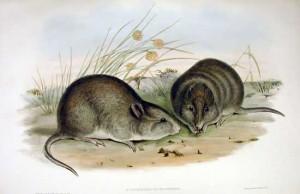 Breitkopf-Känguru (John Gould)