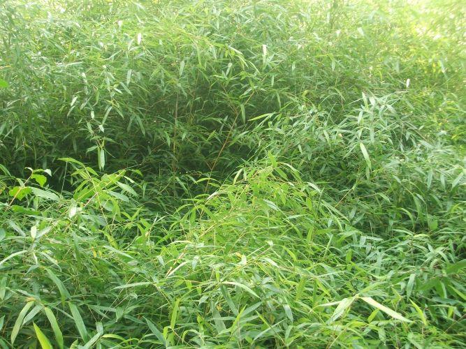 Bambus (Tierpark Hellabrunn)