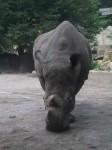 Breitmaulnashorn (Zoo Osnabrück)