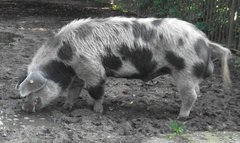 Buntes Bentheimer Schwein (Tiergarten Bernburg)