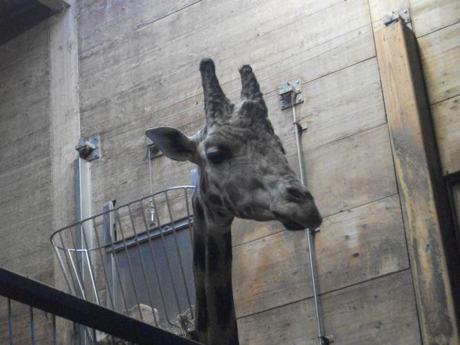 Rothschild-Giraffe (Zoo Augsburg)
