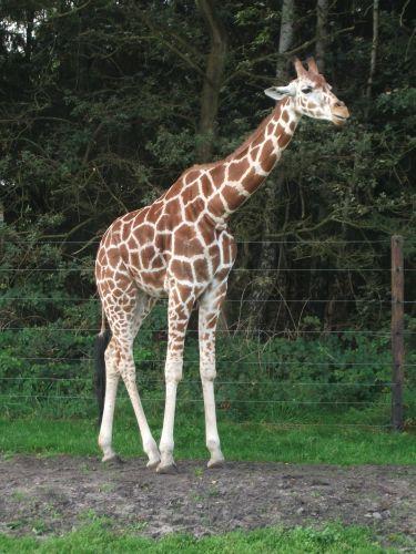 Giraffe (Serengetipark Hodenhagen)