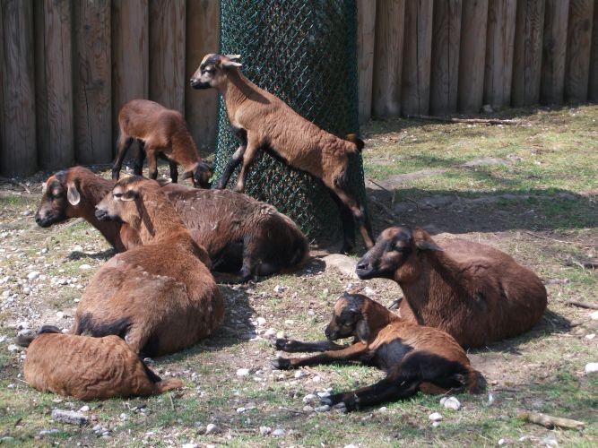 Kamerunschafe (Tierpark Hellabrunn)