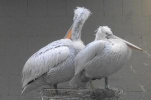 Krauskopfpelikan (Zoo Augsburg)