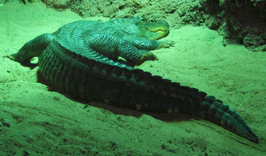 Mississippi-Alligator (Tierpark Hellabrunn)