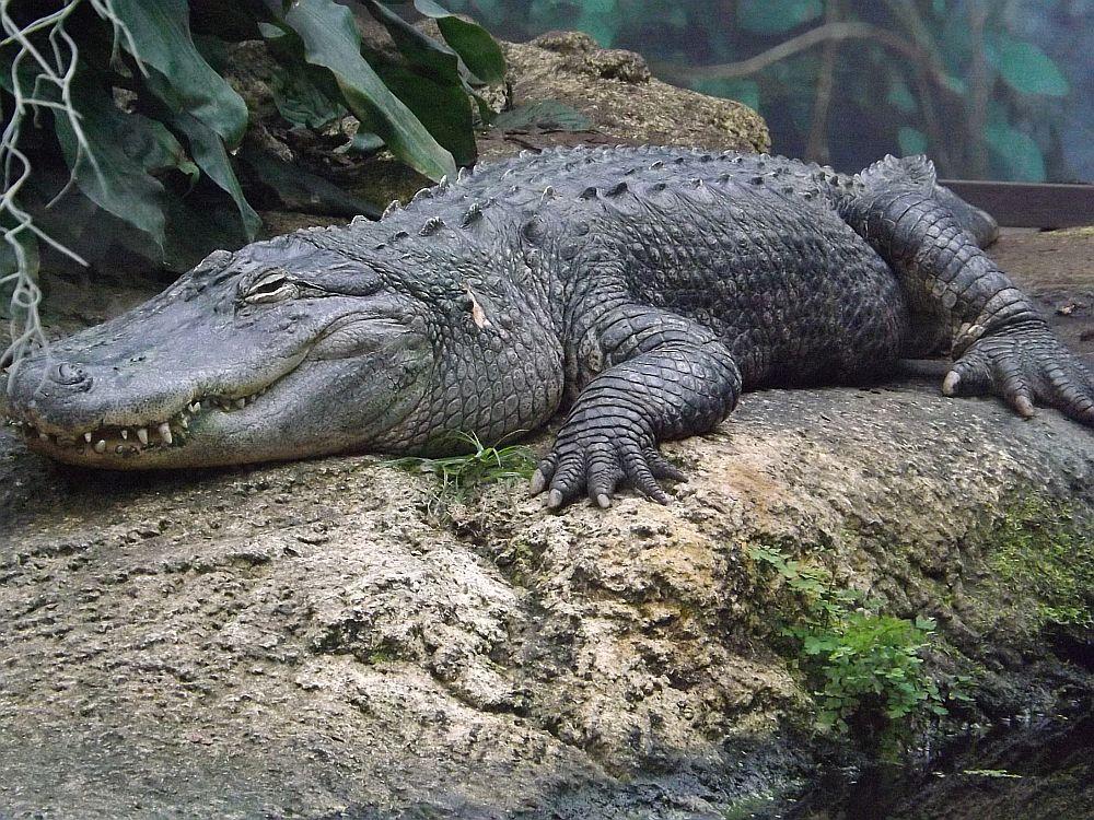 Mississippi-Alligator (Zoo Leipzig)