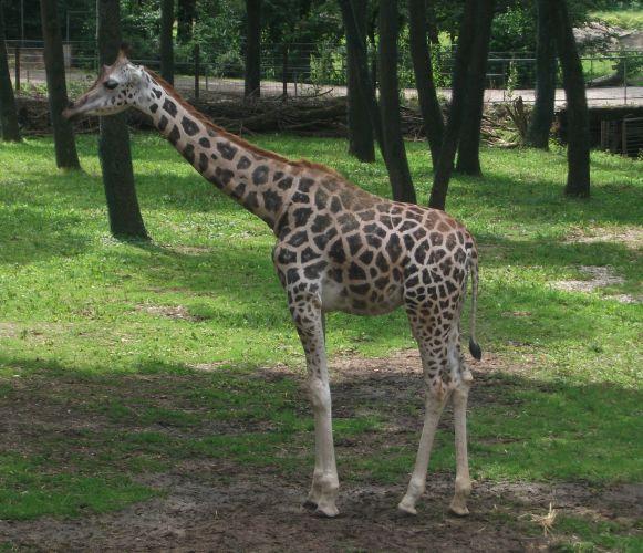 Rothschild-Giraffe (Zoo Schmiding)