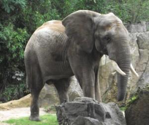 Afrikanischer Elefant (Zoo Duisburg)