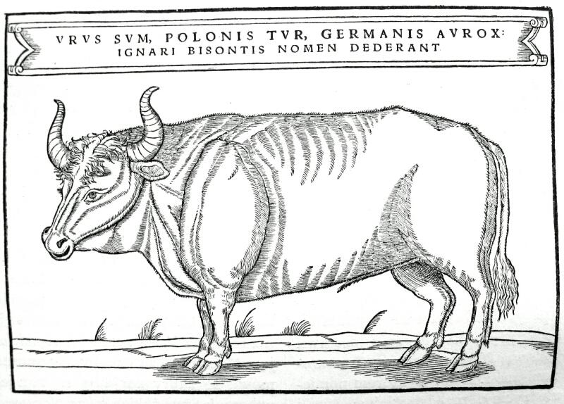 Auerochse (Sigismund von Herberstein): Ich bin der Ur, polnisch Tur, deutsch der Auerochs, Ungelehrte nennen mich Bison