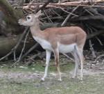 Hirschziegenantilope, weiblich (Tierpark Hellabrunn)