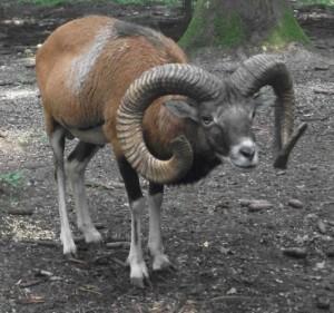 Europäischer Mufflon, männlich (Wildpark Poing)