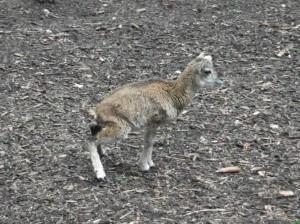 Europäischer Mufflon, Jungtier (Wildpark Poing)
