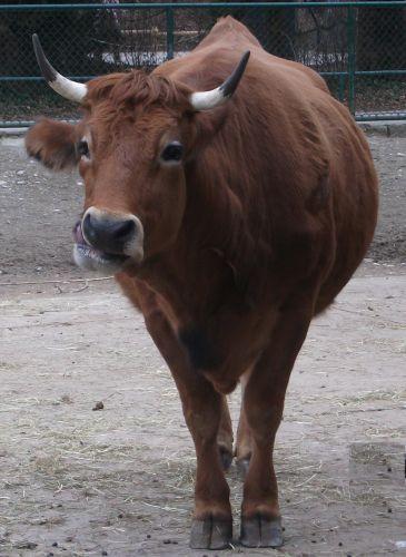 Murnau-Werdenfelser Rind (Tierpark Hellabrunn)